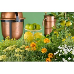 Tagetes extra-s.